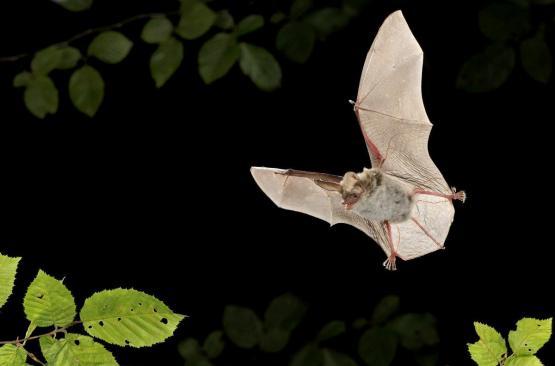 Foto van Podcast vleermuizen herkennen op Ecopedia