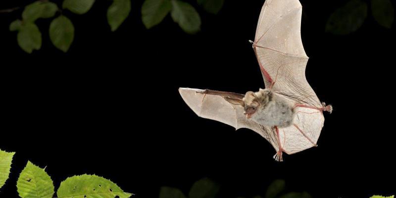 Podcast vleermuizen herkennen op Ecopedia