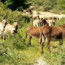 Verkoop konikspaarden, shetlandpony's en ezels